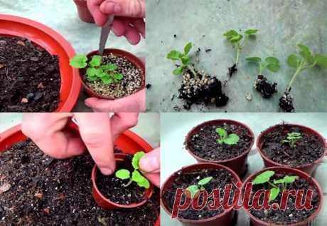 Основные правила выращивания герани из семян и другие методы размножения