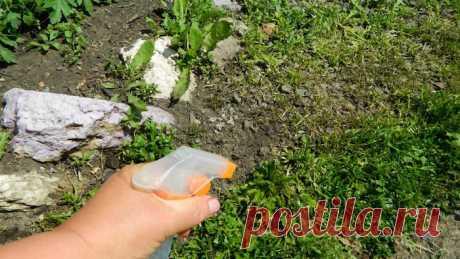 Сделала особый состав и избавилась от сорняков =Данный состав готовится таким образом: 5 ст. ложек уксуса добавьте в 1 л воды и подмешайте 2 ст. ложки соли. Воду необходимо довести до кипения, после чего добавить уксус и высыпать соль. Я еще добавляю немного жидкости для мытья посуды или жидкого мыла. Все смешайте и распрыскайте горячую смесь из пульверизатора на сорняки, причем делать это следует аккуратно, чтобы раствор не затронул другие растения.