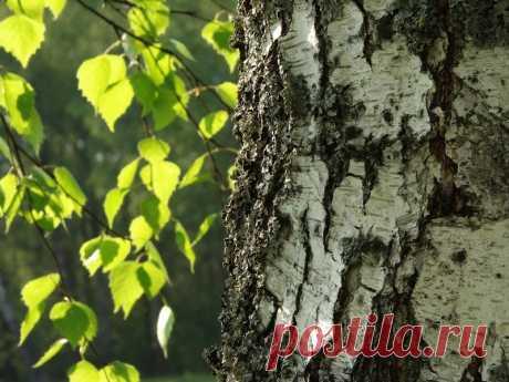 Полезные свойства березовых листьев | Делимся советами