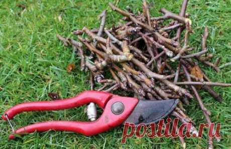 Технология обрезки груши весной для начинающих