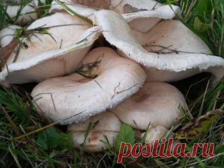 Гриб белянка (волнушка белая): фото и описание, приготовление