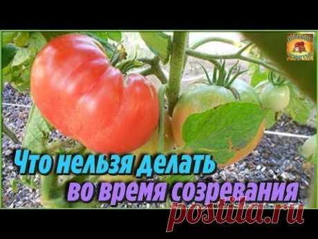 Что нельзя делать во время созревания помидоров. Ошибки при выращивании томатов - YouTube