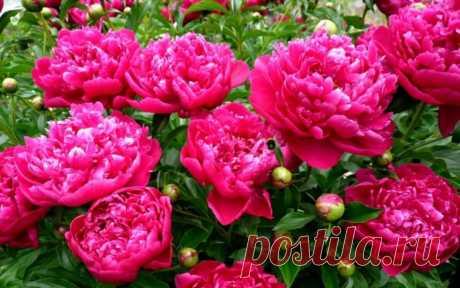 Как продлить цветение пионов на даче на 1-2 недели: напишу хитрости, которыми пользуюсь сама | Секреты сада и дачи | Яндекс Дзен