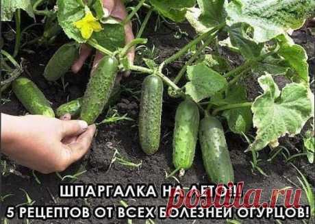 Вырастить хороший урожай огурцов