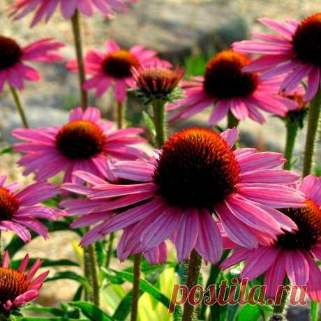 Многолетний садовый цветок Эхинацея (Echinacea). Семейство: сложноцветные (Compositae)  Корневищный травянистый многолетник с розово-красными соцветиями-корзинками. Отличается неприхотливостью и длительным цветением.  Основные виды Вид э.пурпурная (E.purpurea) выделен из рода рудбекий - куст высотой до 1 м, стебли ветвящиеся, опушенные. Нижние листья черешковые, собраны в прикорневую розетку, стеблевые - овально-ланцетные, шершавые. Корзинки одиночные, до 15 см в диаметре.