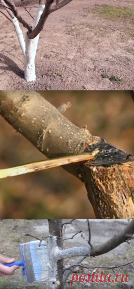 Весенние работы в саду: нужна ли побелка деревьев - как и когда ее делать?