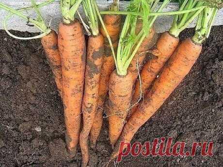 Чтобы урожай моркови был чистым, без всевозможных гнилей, болезней и т. д., после второго прореживания пролейте молодые растения раствором марганца. Разведите в 10-литровом ведре 3 г марганца и 2-3 г борной кислоты. Одного ведра хватит на 3-4 м2 . Через три недели повторите такой полив. Морковь будет чистой, без заразы. Только перед поливом этим раствором пролейте морковные посадки чистой водой.  Морковная муха способна за считанные дни свести на нет весь урожай моркови. М...