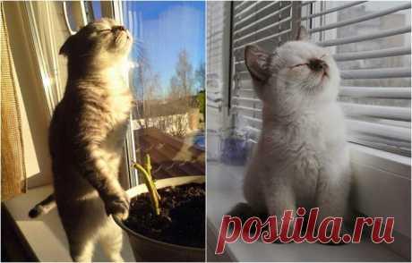 Кошки, которые обожают солнечный свет.  Как это прекрасно после холодных дней понежится в лучах ласкового солнышка. Но любители вы солнышко так, как любят его эти милые котейки, которые попали в объектив фотоаппарата в то самое время, как …