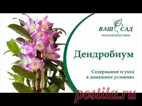 Орхидея Дендробиум - Самые важные правила ухода и выращивания от Ваш сад