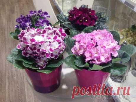 ¿Que pucheros se acercan para uzambarskoy las violetas?
