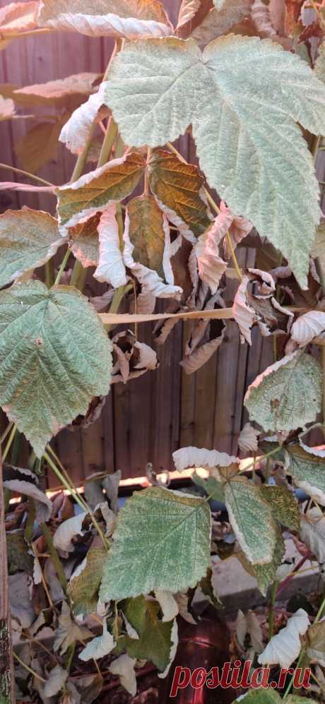 Спасайте! Сначала малиновая муха, теперь вот это... Что это? Болезнь, клещ? Сначала листья белеют, потом сохнут. Чем лечить? Урожай собран.