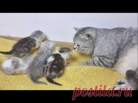 Супер заботливый папа кот целует маму кошку и своих мяукающих котят