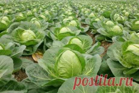 Правильное внесение удобрений для капусты. Что делать, чтобы капуста росла быстрее?