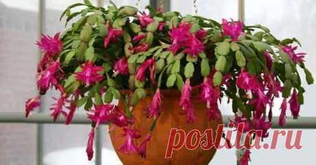 Декабрист: как часто поливать и правильно ухаживать Декабрист — «рождественский кактус» У этого растения много названий. Еще имена: шлюмбергера, рождественник, зигокактус. Мы привыкли к этому замечательному цветку и даже не подозреваем, что при своей н...