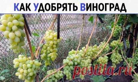 КАК УДОБРЯТЬ ВИНОГРАД  Удобрять виноград надо обязательно. Лишь в первый год жизни можно этого не делать. Не верите? Попробуйте оставить пару кустов без подкормок и посмотрите, насколько у них будут меньше ягоды и грозди. Как хуже будут расти побеги…  Если не хотите экспериментировать, проведите всем кустам шесть подкормок в сезон. Показать полностью…