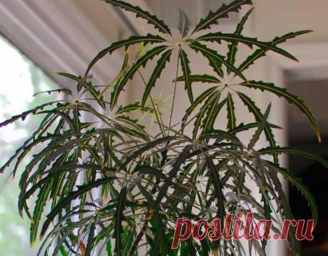 Дизиготека: уход в домашних условиях, размножение, полив Уход в домашних условиях за Дизиготекой. Пересадка и размножение, как правильно поливать, выбор правильной почвы. Дизиготеку иногда называют псевдо-коноплой.