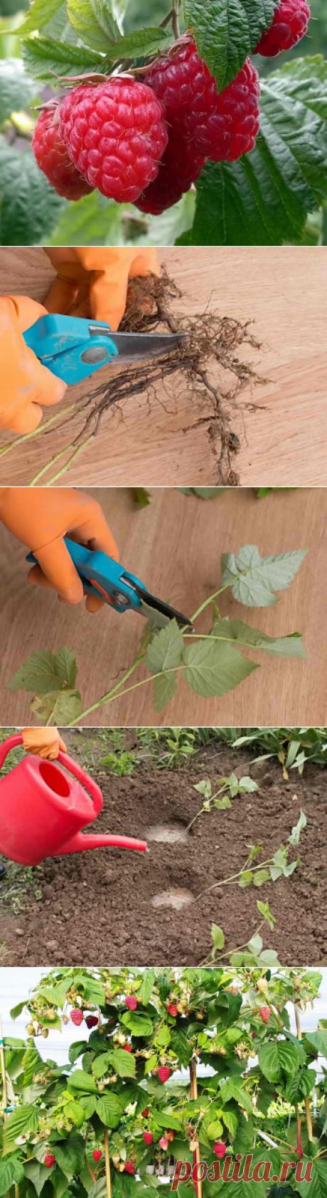 Размножение малины, разные способы черенкования | Дача - впрок