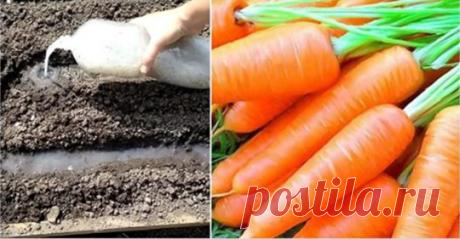 Хитрый способ посадки моркови без прореживания обеспечивающий хороший урожай Сочная морковь, быстрые всходы, отсутствие необходимости прореживать грядки — все это становится...