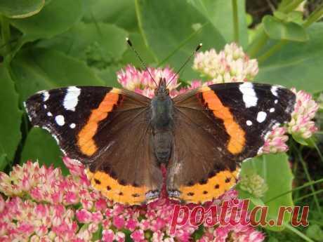 Виды красивых бабочек. Адмирал красный канарский