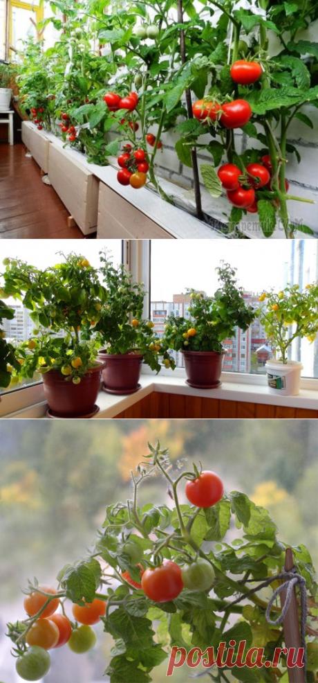 Помидоры для балкона: сорта, посадка и уход