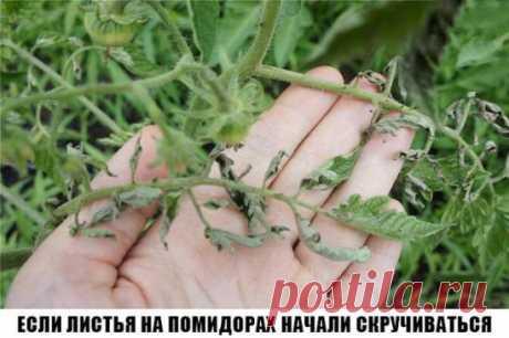 Причин сворачивания листьев у томатов очень много. Но по характеру скручивания можно точно угадать, чем мы не угодили высаженной рассаде.  Крутятся кверху «лодочкой»  Тут всего два виновника:  1. Картофельная тля, которая сидит на стеблях и, несмотря на мелкие размеры, скручивает листву кверху. Справиться с ней сложности не составит – опрыскайте помидоры любым препаратом от колорадского жука: Танрег, Конфидор, Искра, и она погибнет. Только не надо злоупотреблять опрыскиваниями. Листва не расп