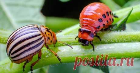 Как избавиться от колорадского жука: 5 способов, которые работают Все ли методы борьбы с колорадским жуком вы уже испробовали? Проверьте себя!