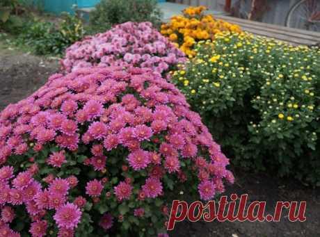 Запомните! Как вырастить шикарные хризантемы? | 6 соток
