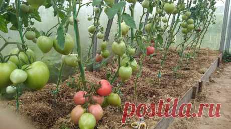 Защищаю томаты от фитофторы и заодно ускоряю их созревание. Старый проверенный способ. | Посад | Яндекс Дзен