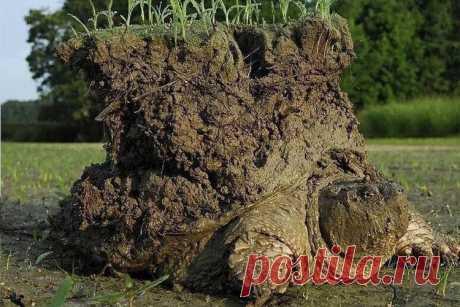 Биологи показали черепаху, которая держит на себе землю / Моя Планета