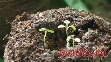 ЗЕМЛЯНИКА из семян. ОСОБЕННОСТИ посева