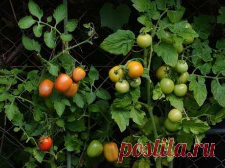 Обработка помидор сывороткой и йодом (рецепт для ускорения созревания)