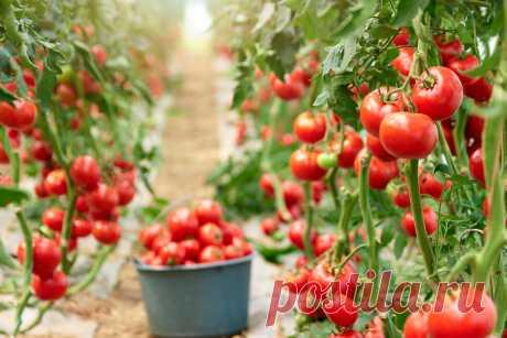 Высокорослые томаты в теплице и открытом грунте — особенности выращивания. Посадка, условия и уход. Фото — Ботаничка.ru