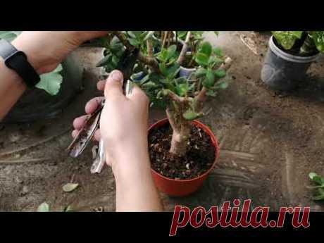 Толстянка: кардинальная обрезка взрослых растений, пересадка молодого