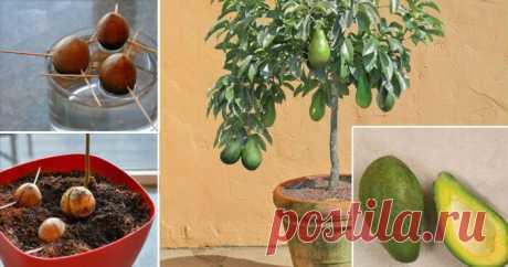 Перестаньте покупать авокадо. Вот как вырастить дерево авокадо дома в горшочке! — Бабушкины секреты