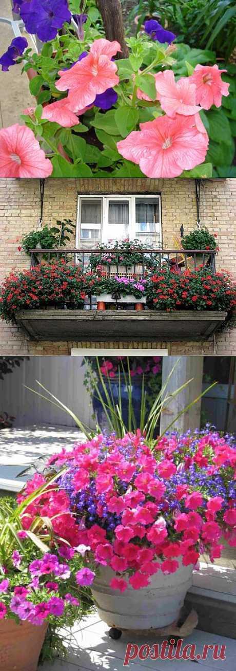 Как вырастить петунию на балконе? | САД НА ПОДОКОННИКЕ