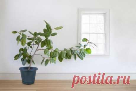 Почему вытягиваются комнатные растения? Среди проблем, которые могут возникнуть при выращивании комнатных растений, самой простой в диагностике и лечении считается вытягивание побегов. Удлинение веточек, вытягивание междоузлий, часто сопров...