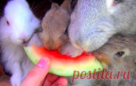 Можно ли давать кроликам арбузные корки Кроликам разрешено есть свежие и сушеные арбузные корки (до 50 грамм) два раза в неделю, мякоть — 1 раз по 10–15 грамм. Нельзя перекармливать животных арбузами, давать ранние, переспевшие или недоспевшие ягоды.