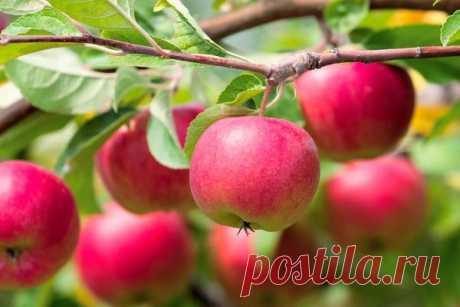 Как повысить урожайность яблонь. Советы от опытных садоводов