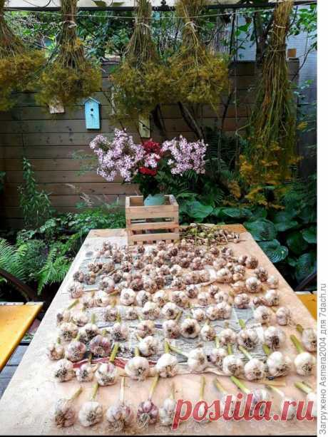 Вырастить отменный урожай чеснока поможет кефир