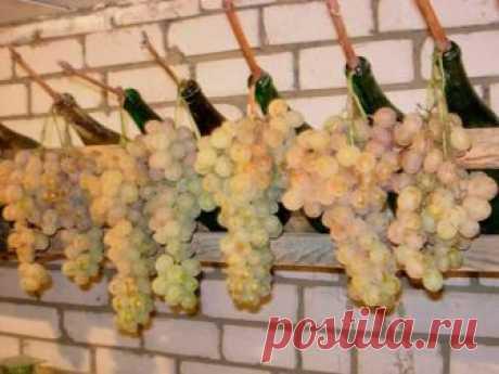 Хотите и весной лакомиться виноградом со своей грядки? Открываем секреты хранения винограда