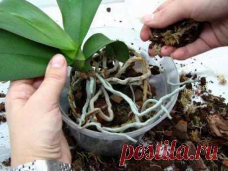 Как спасти орхидею без корней и без листьев, как реанимировать растение янтарной кислотой, если корневая система сгнила. Видео о том, как ее восстановить