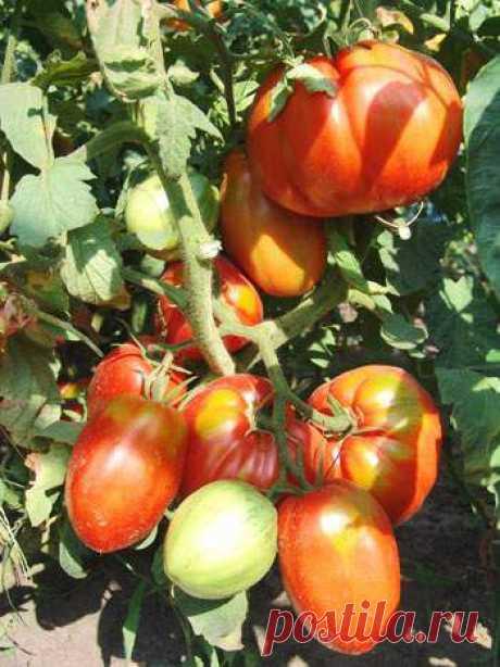 Защитим томаты от болезней и вредителей » Интернет-газета Кумушка.com