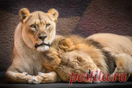 Пожилой паре львов, люди помогли уйти вместе в страну «вечной охоты» - Самое невероятное и интересное - медиаплатформа МирТесен
