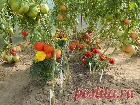 Простой, но действенный способ обеспечить завязи на кустах томатов в теплице.   Цветочная душа   Яндекс Дзен