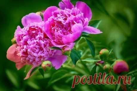 6 секретов пышного цветения пиона Пионы — ароматные цветы большого размера. Цветение, как правило, начинается в мае — июне. Непривередливы, особого ухода при выращивании не требуют. А вот для достижения обильных и пышных цветоносов следует знать секреты.