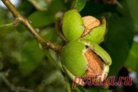 КАК ПОСАДИТЬ И ВЫРАСТИТЬ МОГУЧИЙ ОРЕХ       Грецкий орех родом из Средней Азии. К нам он попал больше 1000 лет назад, завезли его греческие торговцы старинным путем – «из варяг в греки», поэтому и получило дерево такое название. Сейчас е…