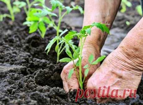 Чем подкормить подрастающие помидоры после высадки в грунт: виды удобрений, сроки