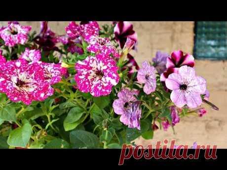 От моего цветника невозможно отвести глаз я кормлю этим все цветы в июне июле!