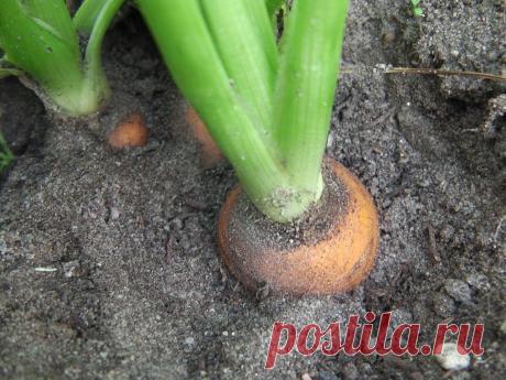 Домашний состав для опрыскивания моркови, чтобы ботва не сохла, а росла пышно-зеленой  1. Берем 1 флакон перекиси (50 мл) и разводим в 5 л воды. 2. Набираем 2 стакана кипяченой теплой воды (проверить температуру можно опустив бутылку в емкость с теплой водой). 3. Берем обычную таблетку аспирина, измельчаем и растворяем в 1 стакане воды. 4. Полученным составом опрыскивать морковные грядки через день. 5. Уже на 10 день ботва начинает зеленеть, становится пышной и сочной.