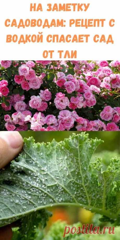 На заметку садоводам: Рецепт с водкой спасает сад от тли - Стильные новости